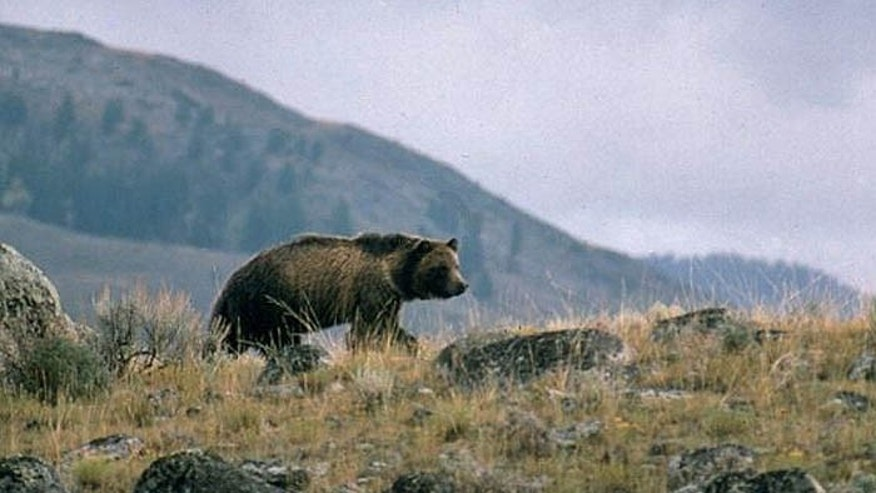 Scientists believe the grizzlies follow hunters in the hopes of stealing their prey. (USGS)