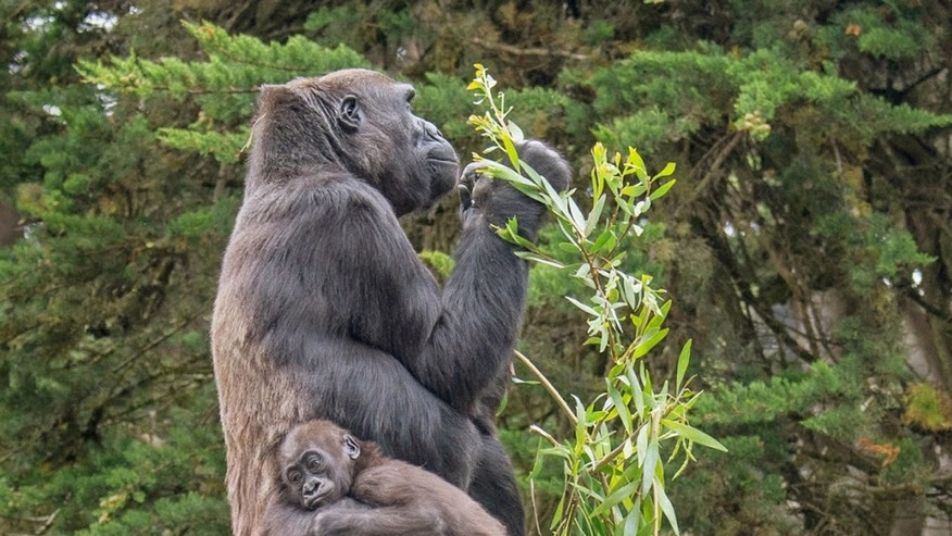 This June 12, 2014 photo provided by the San Francisco Zoo shows 16-month-old lowland gorilla named Kabibe with her grandmother, Bawang