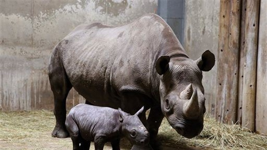 An Eastern black rhinoceros calf and its mother are shown.