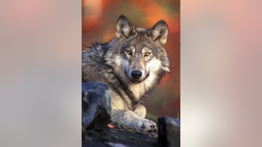 This undated handout photo provided by the U.S. Fish and Wildlife Service shows a gray wolf. Scientists have found that, contrary to what many people think, killing wolves does not always reduce attacks on livestock.