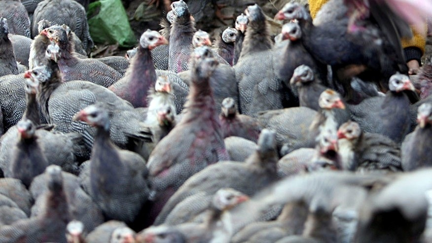 File photo. Guinea fowls are kept for sale at a roadside in Jammu, India.