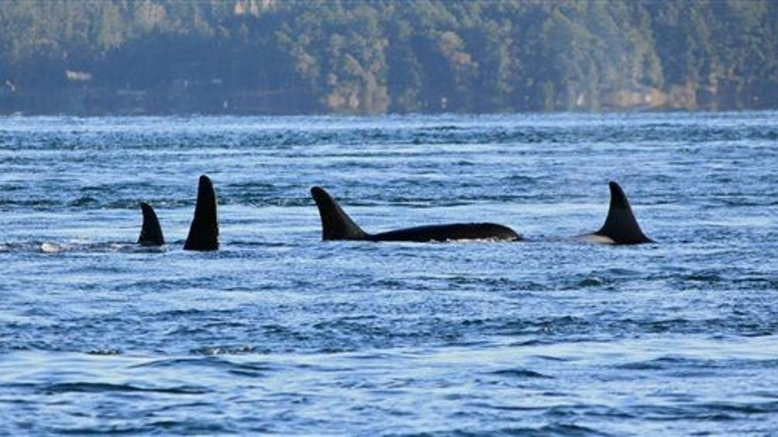 This photo shows orcas from the J-pod.