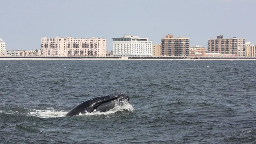 In this Aug. 19, 2014, photo provided by Gotham Whale, a humpback whale surfaces in the Atlantic Ocean just off the Rockaway peninsula near New York City. Humpbacks have been approaching the city in greater numbers than in many years; there were 87 sightings in nearby waters from a whale-watching boat 2014. (AP Photo/Gotham Whale/Paul Sieswerda)