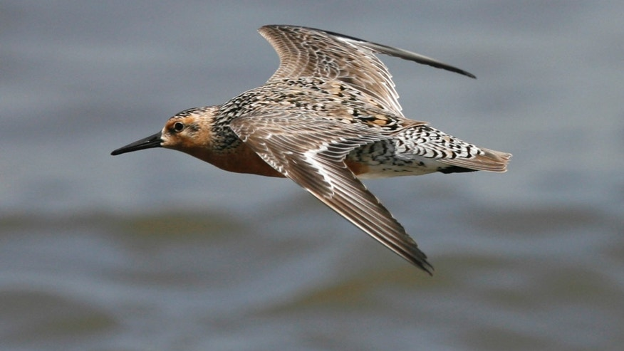 A migrating red knot flies near the beach along the Delaware Bay in Fortescue, New Jersey.