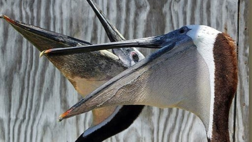 A rescued California brown pelican shows off its lack of teeth.