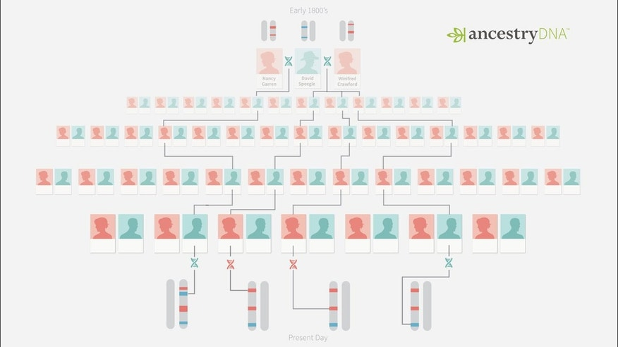 This diagram shows how DNA is traced back from those in the present day to the Speegle family.