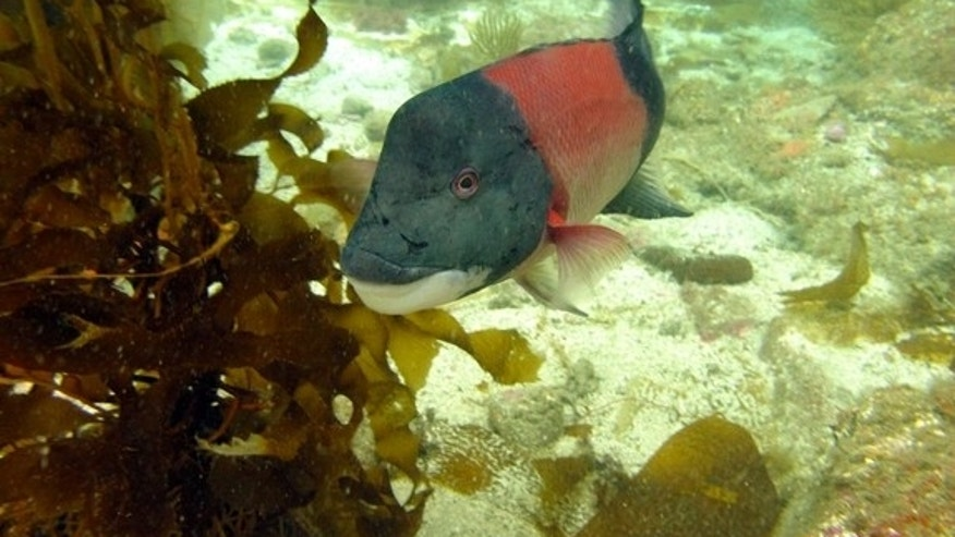 Male sheephead have fleshy forehead bumps and black tail and head sections.