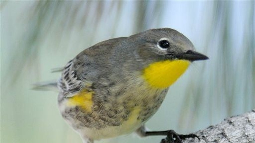 This Sept. 23, 2010, file photo shows a yellow-rumped warbler on the University of New Mexico campus in Albuquerque, NM.