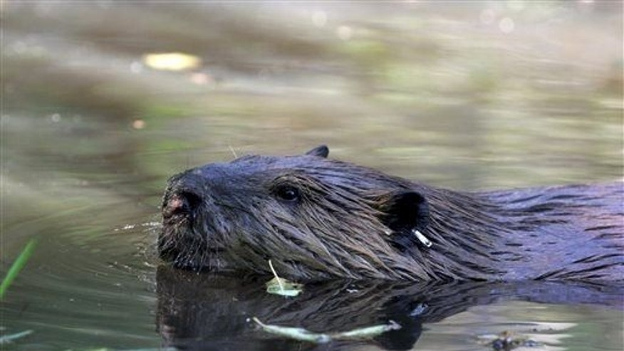 "In this Sept. 12, 2014, photo, a tagged 50-pound male beaver nicknamed ""Quincy"" swims in a water hole near Ellensburg, Wash."