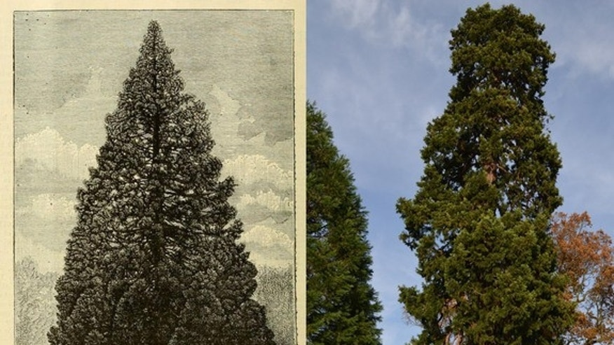 The Wrest Park Christmas Tree as it appeared in the June 1900 edition of Gardener's Chronicle (left). The tree as it stands today (right).