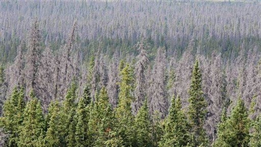 "Gray, dead spruces are seen. Says Pearce, ""All the trees would be dead, for lack of light."""
