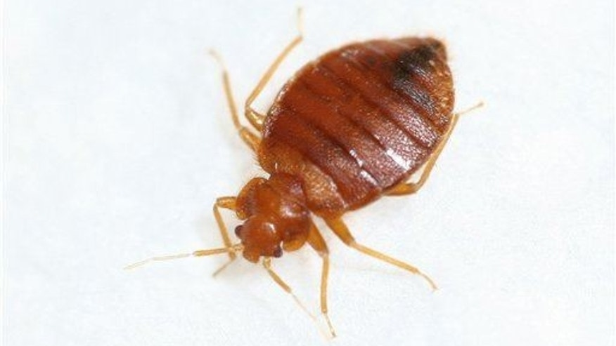 A researcher tolerated 180,000 bedbug bites while she worked on a trap.