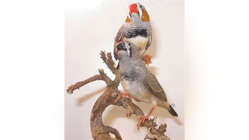 This undated handout photo provided by the journal Science shows Zebra finches.