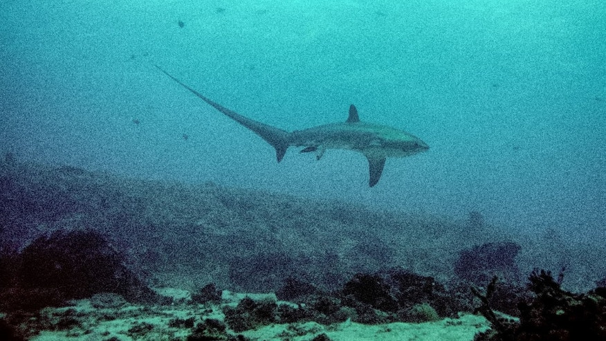 The image of the pelagic thresher shark was shot by photographer Attila E. Kaszo during a 2013 research dive led by Dr. Simon Oliver from the University of Chester in the U.K.