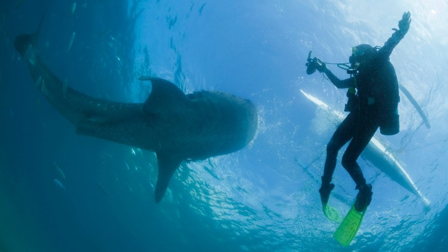 A scuba diver swims next to a whale shark as it is fed from a feeder boat off the beach of Tan-awan, Oslob, in the southern Philippines island of Cebu March 1, 2013.