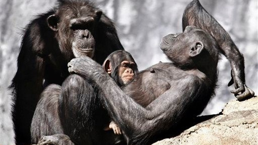 Chimpanzees sun themselves in their compound at the Los Angeles Zoo, Dec. 20,  20013.
