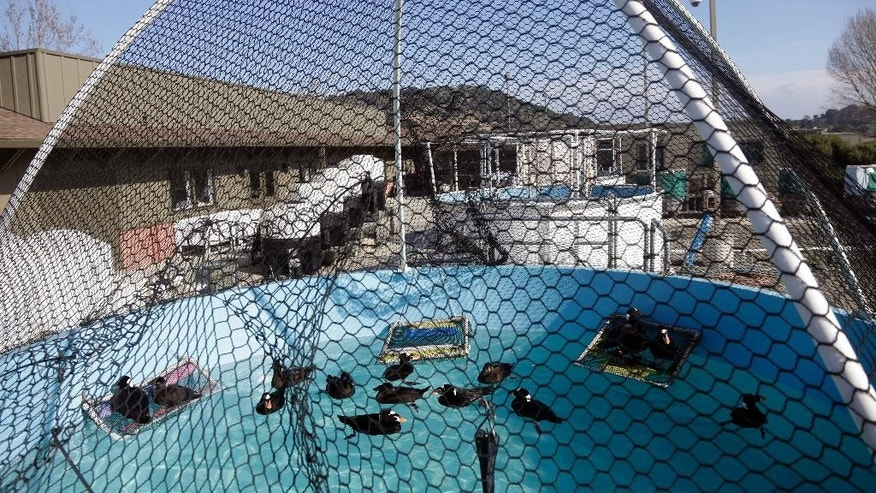 Surf scoters are held in a pool after being treated, washed and dried at International Bird Rescue, Tuesday, Jan. 20, 2015, in Fairfield, Calif. The death of 100 birds in the San Francisco Bay Area has baffled wildlife officials who say the feathers of the birds were coated with a mysterious substance that looks and feels like rubber cement. (AP Photo/Marcio Jose Sanchez)
