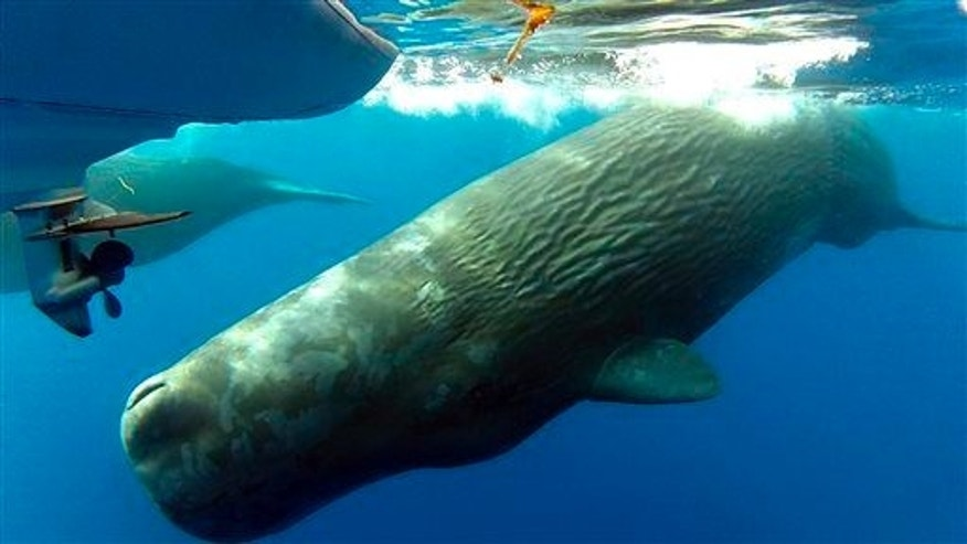 This Monday, Oct. 6, 2014 photo shows sperm whales swimming in the waters off the the coast of Dana Point, Calif.