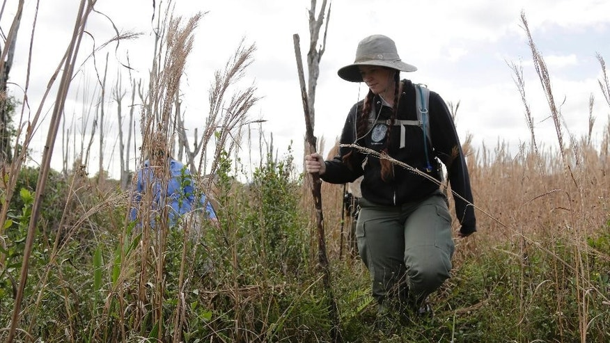 Tessie Offner, a nonnative wildlife biologist with the Florida Fish and Wildlife Conservation Commission, walks through brush while doing a survey of the Northern African python, Thursday, Jan. 29, 2015, in Miami. For the last five years, wildlife authorities from multiple agencies have raced to keep the northern African python, also known as the rock python, from spreading beyond a small colony in western Miami-Dade County. (AP Photo/Lynne Sladky)