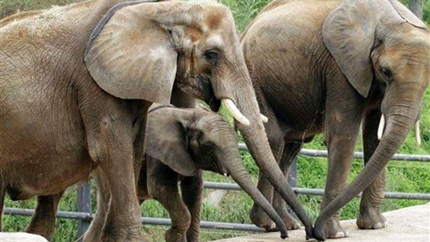 Moja, left, a 28-year-old African elephant, and her two daughters, Zuri, 3, center rear, and Victoria, 11, all born at the Pittsburgh Zoo & PPG Aquarium, are seen in the zoo's elephant habitat.