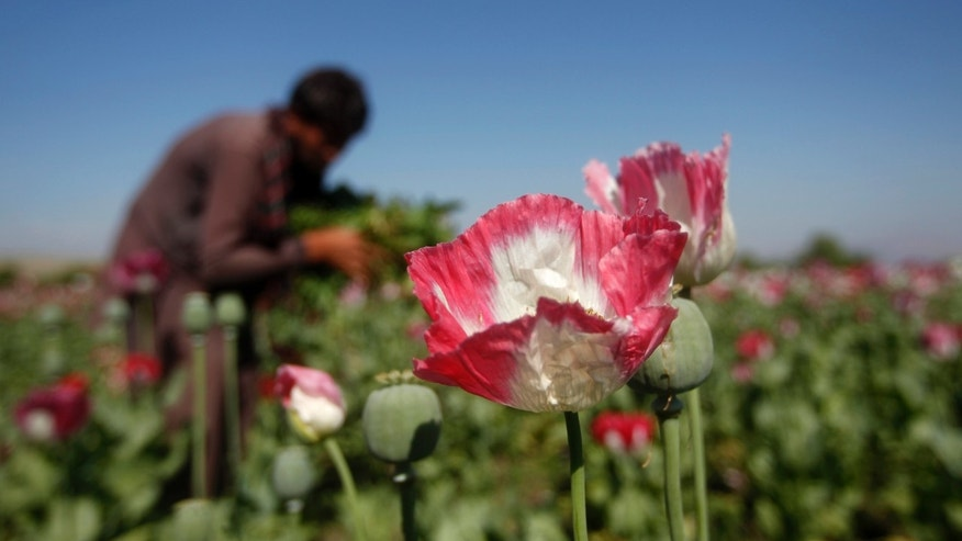 File photo - an Afghan man works on a poppy field in Jalalabad province April 17, 2014.