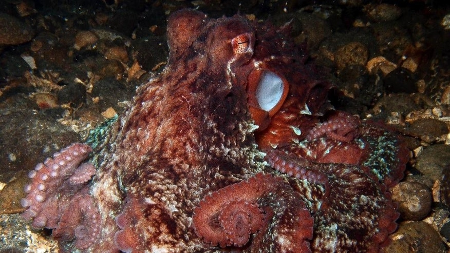 In this underwater photo provided by Andrea Petersen taken Nov. 6, 2013, a giant pacific octopus is seen in the Puget Sound near Seattle. Every year, the Seattle Aquarium enlists the help of volunteer divers to search and count giant pacific octopus in the Puget Sound for an underwater census. (AP Photo/Andrea Petersen)