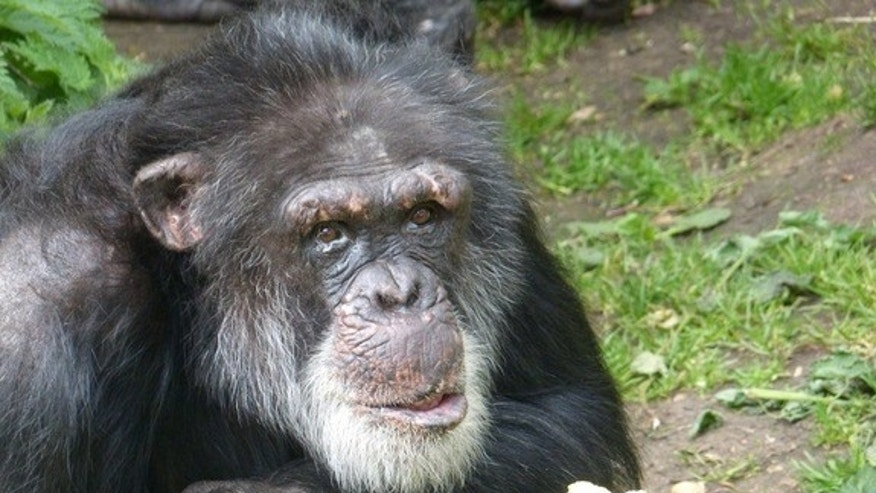 Louis, one of the Edinburgh chimps, begrudgingly eats an apple.
