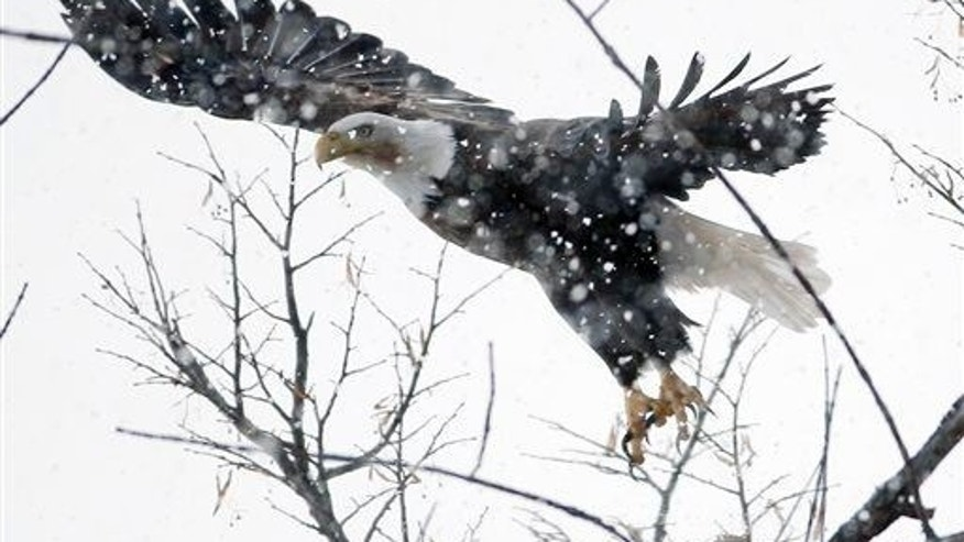 A bald eagle flies from a treetop in light snow along the Otsego Lake shoreline on Friday, Jan. 30, 2015, in Cooperstown, N.Y.