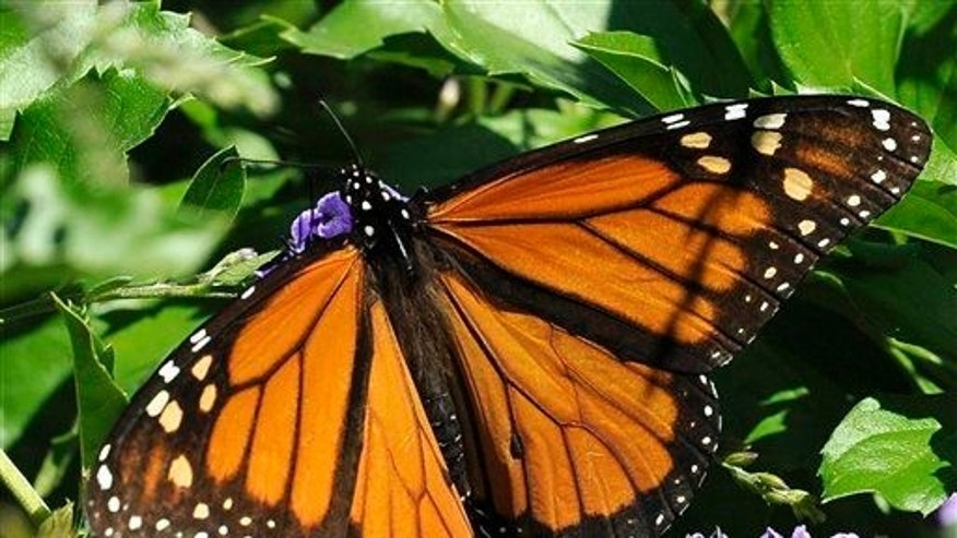 This photo taken Oct. 25, 2014 shows a monarch butterfly feeding on a Duranta flower in Houston.