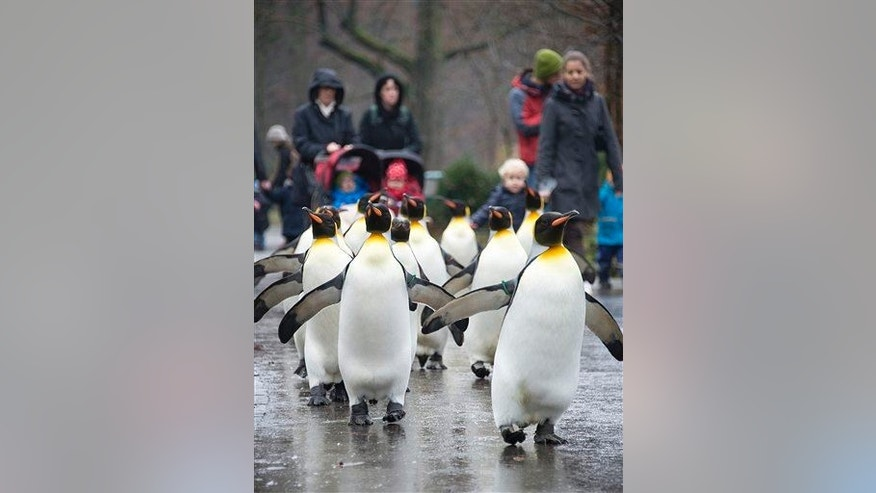 Visitors follow king penguins as they march through the Zoo in Basel, Switzerland, Thursday, Dec. 18, 2014.