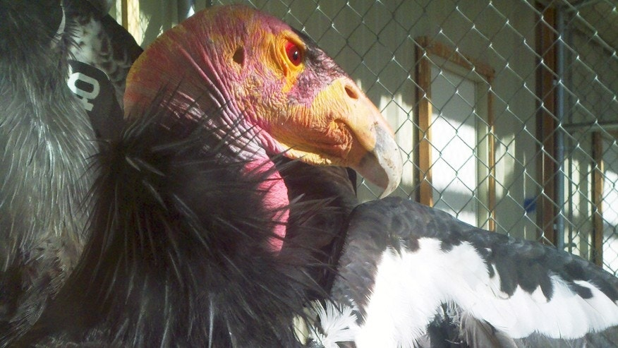 This undated photo from The Peregrine Fund shows an adult California condor at the fund's World Center for Birds of Prey near Boise, Idaho.