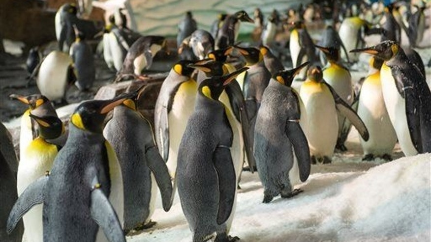 This photo shows king penguins at Antarctica: Empire of the Penguin, a new attraction at SeaWorld Orlando.