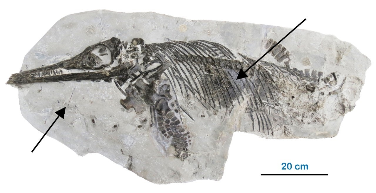 'Fake' fossil is actually 189 million-year-old remains of undiscovered species