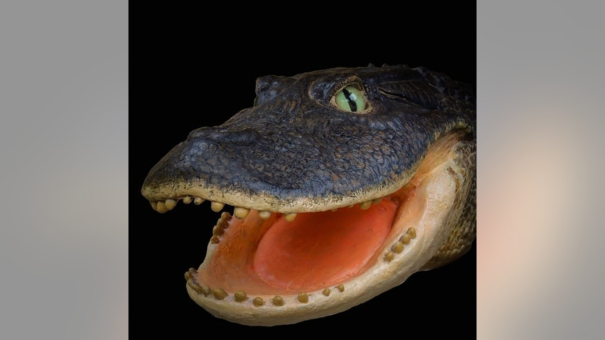 A model of the 13-million-year-old Gnatusuchus pebasensis, a crocodylian with a short face and rounded teeth that may have shoveled through the mud at the bottom of lakes and swamps to find prey, such as clams and other mollusks.