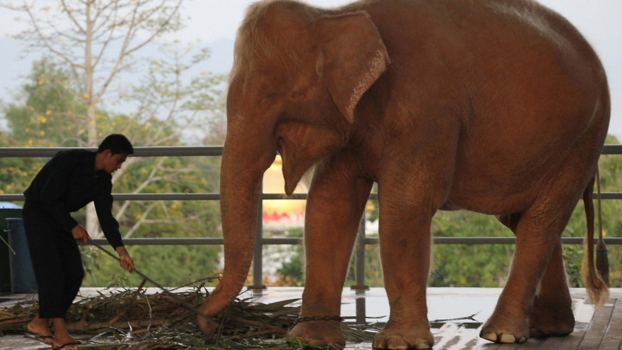 Jan. 4, 2012: A white elephant is fed grass at a zoo in Naypyitaw, Myanmar.