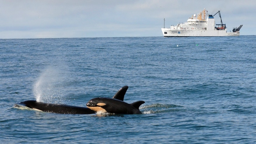 In this photo taken Feb. 26, 2015, and provided by NOAA Fisheries, newborn Orca calf L121 swims with its mother, L94, off Westport, Wash., with the NOAA research ship Bell M. Shimada in the background. Researchers aboard a National Oceanic and Atmospheric Administration vessel returned to Oregon earlier this week with a wealth of new data about the whales and their ocean environment. The information was gained after NOAA Fisheries researchers followed the giant marine mammals for 21 days to find out where they go during the winter, what they eat, and what risks they encounter. (AP Photo/NOAA Fisheries, Candice Emmons)