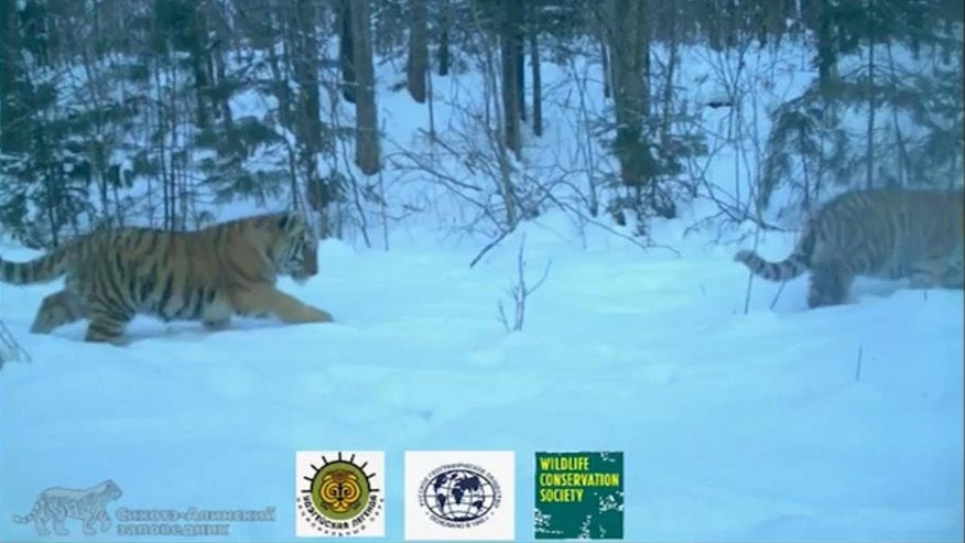 YouTube screenshot from Wildlife Conservation Society video