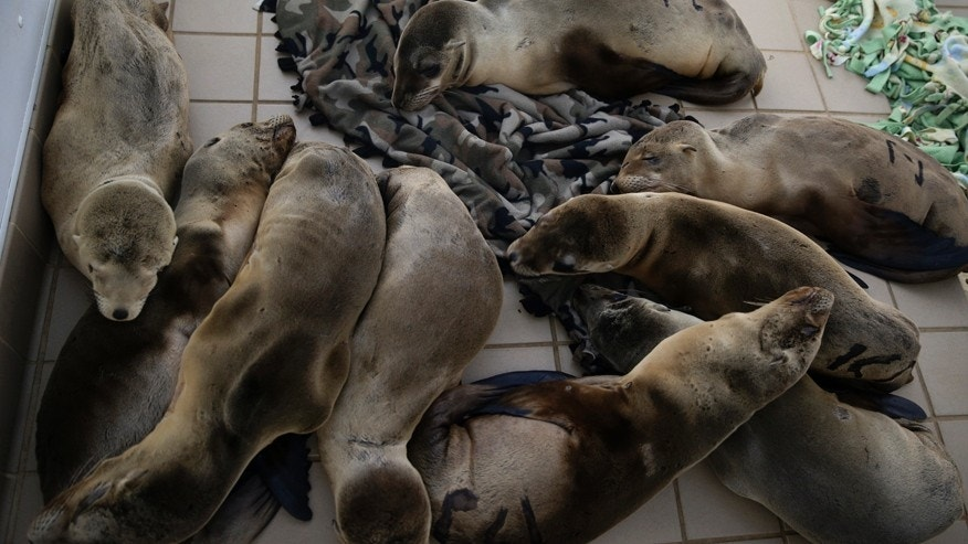 March 2, 2015: Rescued sea lion pups rest in a holding pen at the Pacific Marine Mammal Center in Laguna Beach, Calif.
