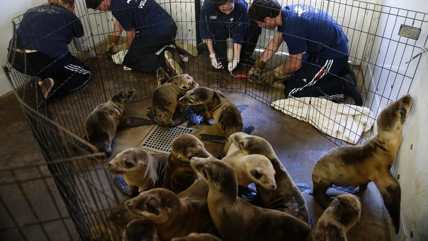 March 2, 2015: From left, Kirsten Sedlick, Daniel Connor, Ashley Cook and Brennan Slavik tube-feed the rescued sea lion pups at the Pacific Marine Mammal Center in Laguna Beach, Calif.