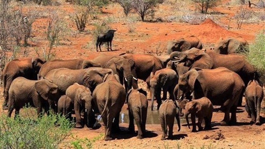 A herd of elephants drinks at a watering hole in this file photo.