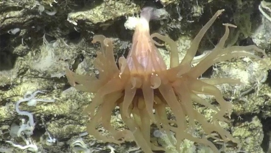 One of the many underwater creatures filmed during the two-week-long mission of Perth Canyon.