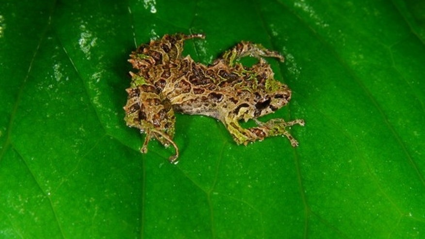 The newly found shape-shifting rain frog rests on a leaf.