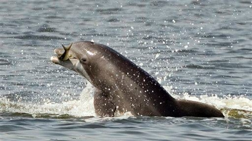 A porpoise leaps out of the water holding a fish while feeding in the Indian River in Titusville, Fla.