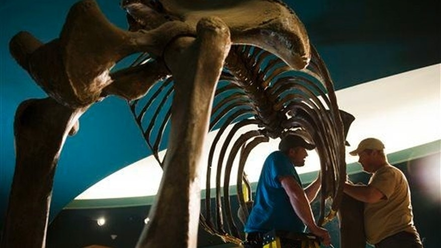 Workers deconstruct the skeleton of a woolly mammoth at the Smithsonian National Museum of Natural History in Washington.