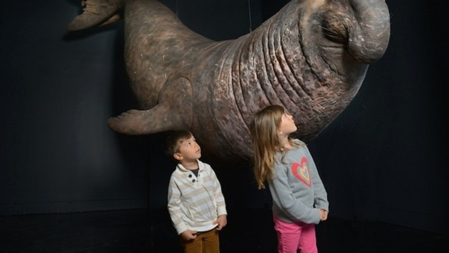 The new Life At The Limits Exhibit at the American Museum of Natural History in New York details the extraordinary abilities of animals, including the elephant seal, which can hold its breath underwater for up to two hours.
