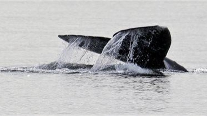 File photo of a gray whale in Possession Sound, near Everett, Wash.