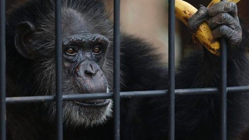 Chita, a female chimpanzee, holds bananas as she peers from within her new enclosure at a zoo in Asuncion, Paraguay, May 2, 2014.