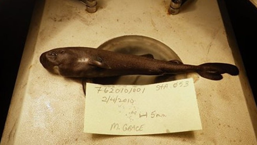 This image shows a 5.5-inch long rare pocket shark. It was fished out of the Gulf of Mexico in February 2010. (Mark Grace/National Oceanic Atmospheric Administration National Marine Fisheries Service Southeast Fisheries Science Center via AP)