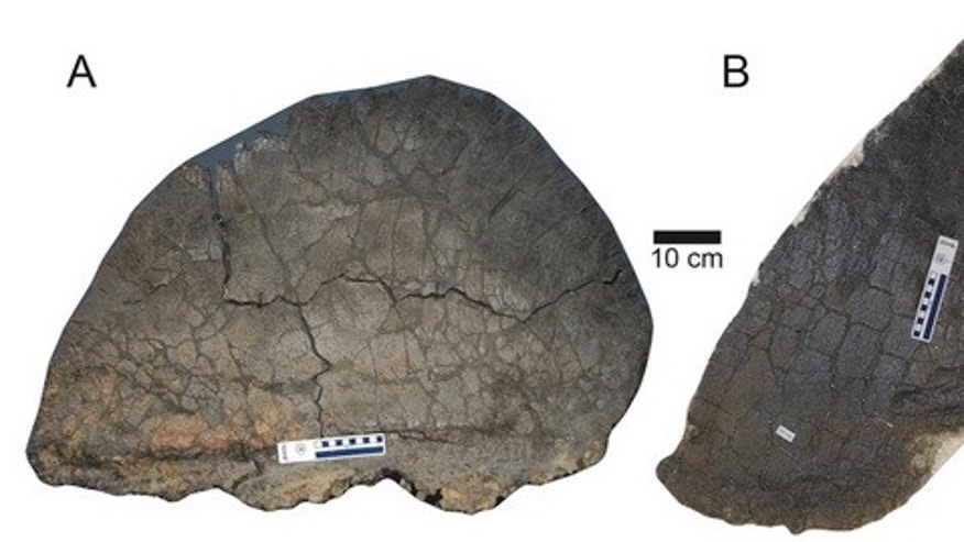 A comparison of the largest wide plate (A) next to the largest tall plate (B) of the studied <i>Stegosaurus mjosi</i> plates.