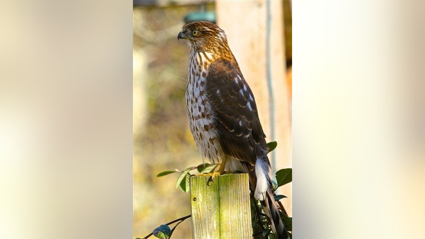 This March 18, 2013, photo shows a Cooper's hawk.